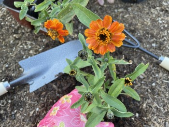 Planting an orange zinnia with garden tools visible